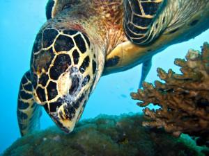 Hawksbill Turtle Koh Samui