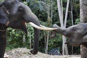 baby-elephant-and-mother-samui